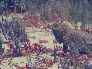 Iguana on Green Cay