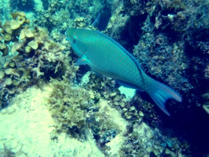 Parrot Fish in Green Cay