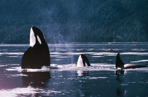 Orca Observation in British Columbia