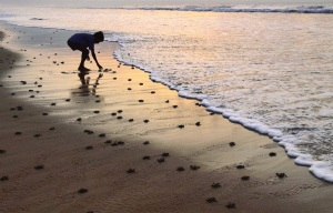 Hatchlings in the Bay of Bengal