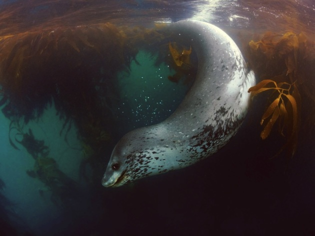 Leopard Seal in Resurrection Sea, South Georgia